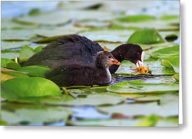 Eurasian Or Common Coot, Fulicula Atra, Duck And Duckling Greeting Card by Elenarts - Elena Duvernay photo