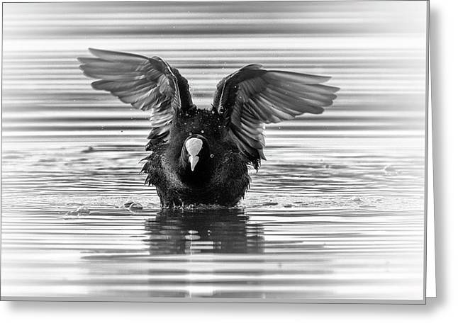 Eurasian Or Common Coot, Fulicula Atra, Duck Greeting Card by Elenarts - Elena Duvernay photo