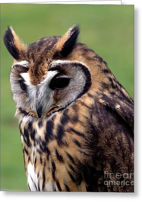 Eurasian Striped  Owl Greeting Card
