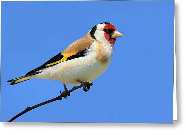 European Gold Finch Greeting Card by John Absher