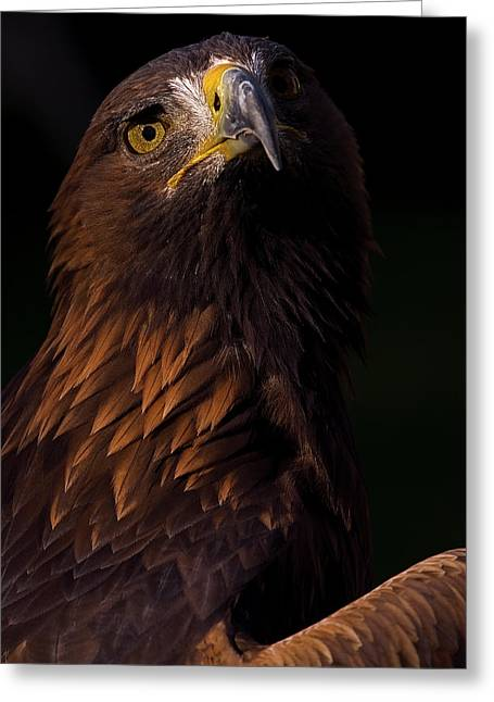 European Golden Eagle Greeting Card