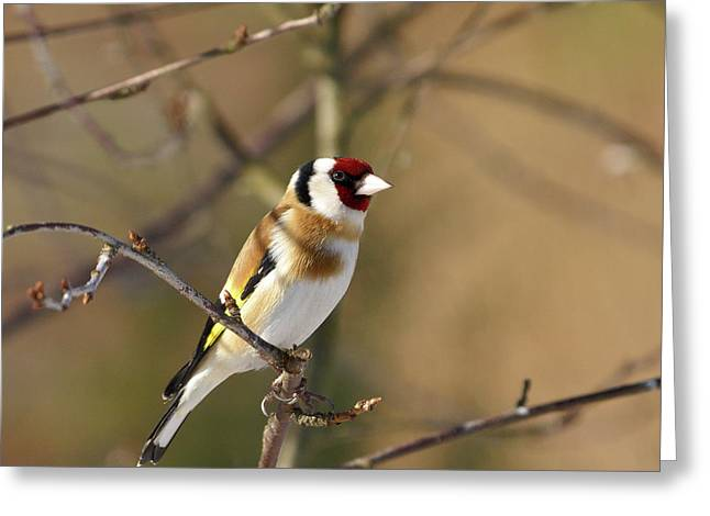 European Goldfinch 2 Greeting Card