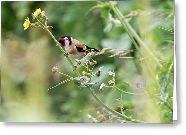European Goldfinch Perched On Flower Stem B Greeting Card