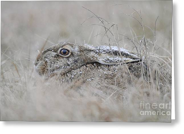European Hare In Grass Greeting Card by Andreas Volz