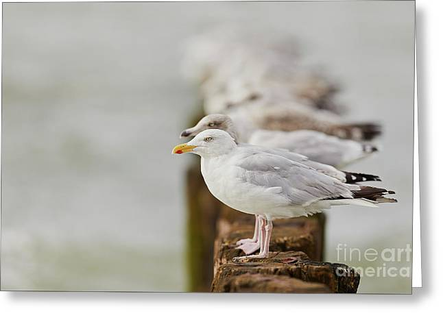 European Herring Gulls In A Row Fading In The Background Greeting Card