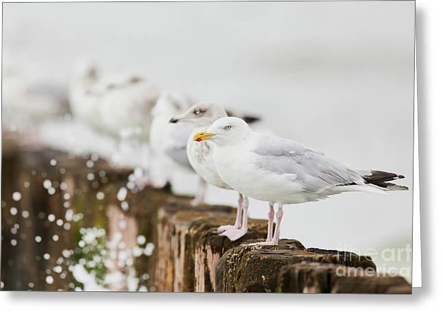 European Herring Gulls In A Row  Greeting Card