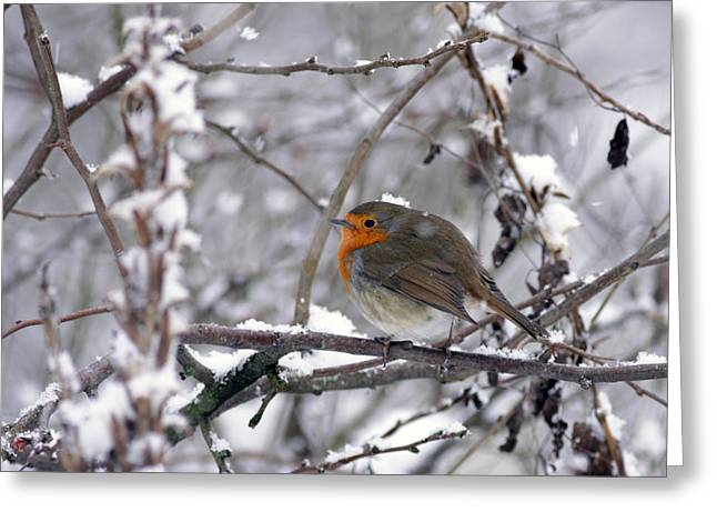 European Robin In The Snow At Christmas Greeting Card