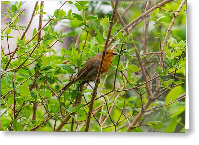 European Robin Greeting Card