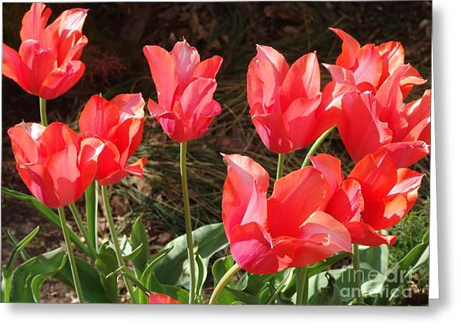 Even More Temple Beauty Tulips Greeting Card by Rod Ismay
