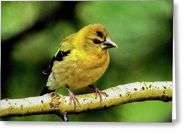 Evening Grosbeak Baby Greeting Card