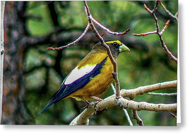 Evening Grosbeak On Aspen Greeting Card