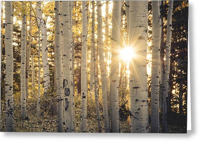 Evening In An Aspen Woods Greeting Card by The Forests Edge Photography - Diane Sandoval