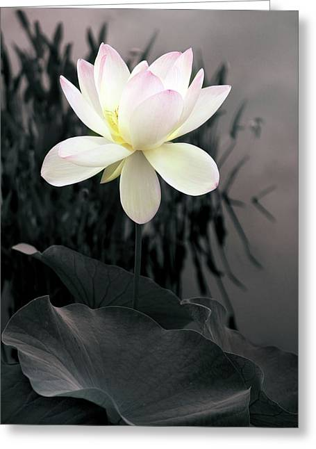 Evening Lotus  Greeting Card by Jessica Jenney