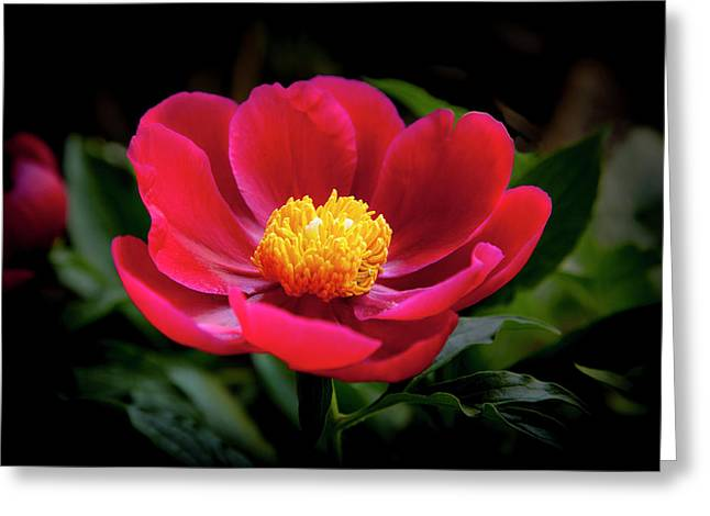 Greeting Card featuring the photograph Evening Peony by Charles Harden