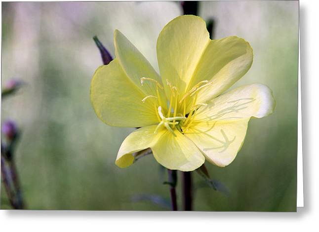 Evening Primrose In The Morning Greeting Card by MH Ramona Swift