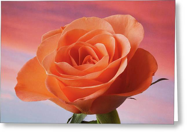 Greeting Card featuring the photograph Evening Rose by Terence Davis