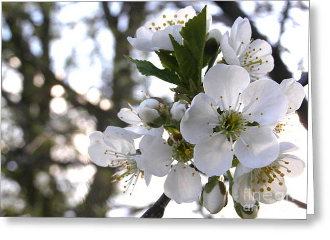 Greeting Card featuring the photograph Evening Show - Cherry Blossoms by Angie Rea