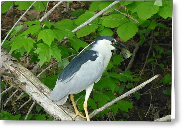 Evening Snack For A Night Heron Greeting Card by Donald C Morgan
