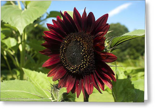Evening Sun Sunflower #1 Greeting Card by Jeff Severson