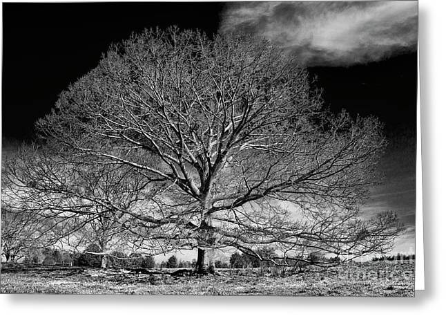 Ever Expanding Red Oak Tree Art Greeting Card