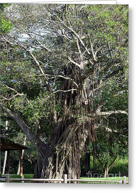 Ever Fascinating Banyan Greeting Card by William Tasker
