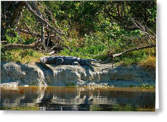 Everglades Crocodile Greeting Card by David Lee Thompson