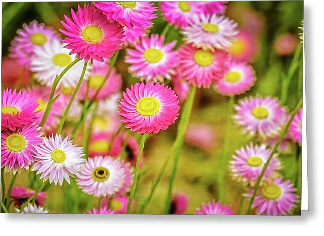 Everlasting Daisies, Kings Park Greeting Card