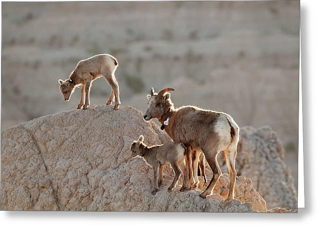 Ewe And Twins Greeting Card