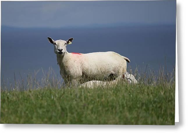Ewe Guarding Lamb Greeting Card