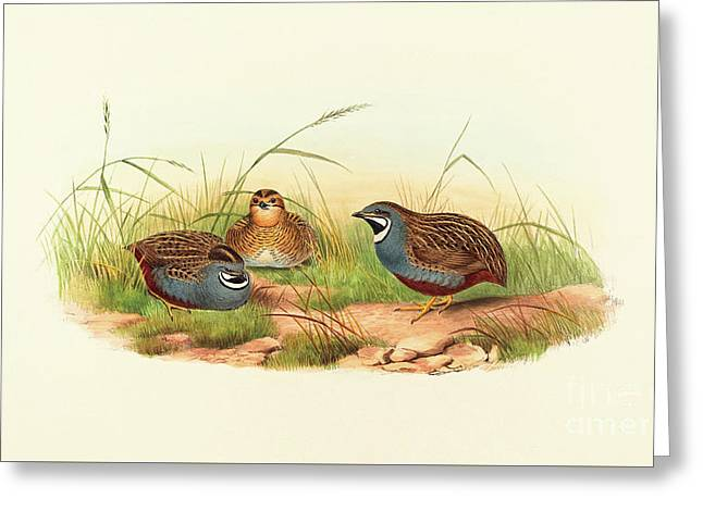Excalftoria Minima, Blue Breasted Quail Greeting Card by John Gould