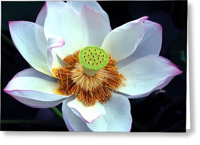 Exotic Lotus Greeting Card by Blima Efraim