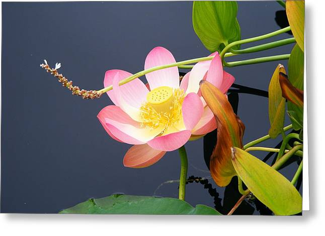 Greeting Card featuring the photograph Exotic Waterlily by Margie Avellino