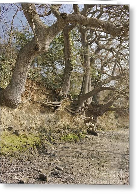 Exposed Roots At Low Tide Greeting Card by Terri Waters