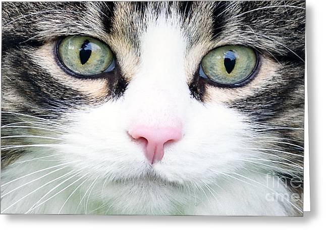 Greeting Card featuring the painting Expressive Maine Coon D122016 by Mas Art Studio