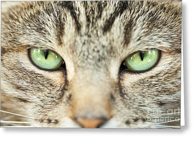 Extreme Close Up Tabby Cat Greeting Card by Sharon Dominick