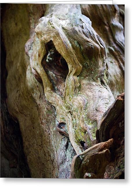 Eye Of The Dragon - Ancient Cedar - Pacific Northwest Greeting Card