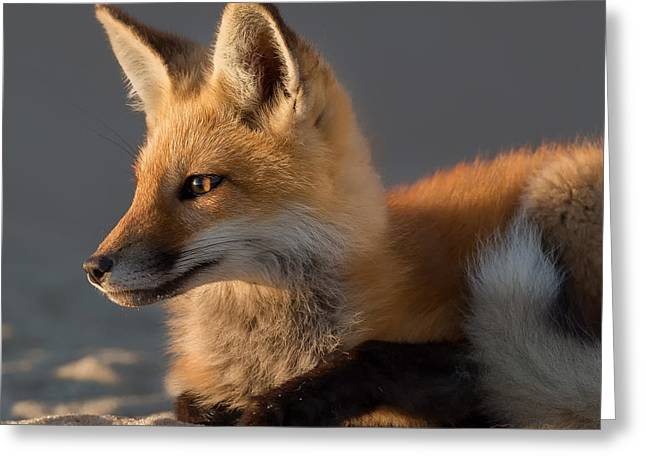 Eye Of The Fox Greeting Card by Bill Wakeley