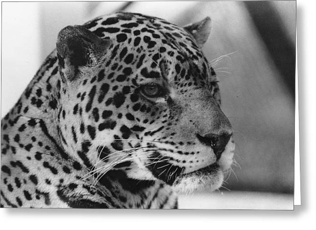 Eye Of The Tiger  Greeting Card