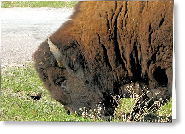 Eye To Eye Bison And Bird Greeting Card by Marion Muhm