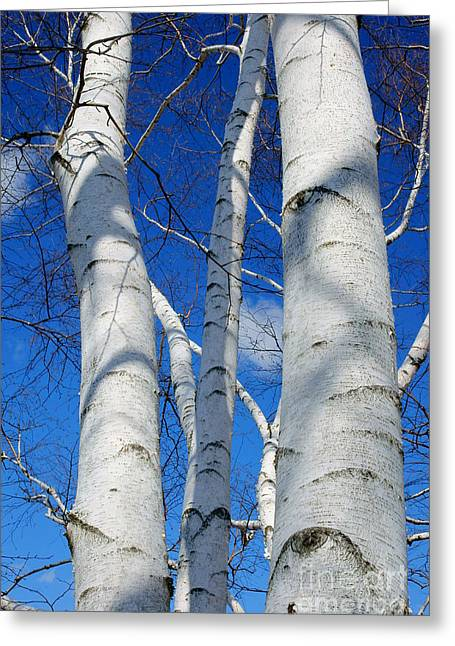 Eyes Of Birch Greeting Card