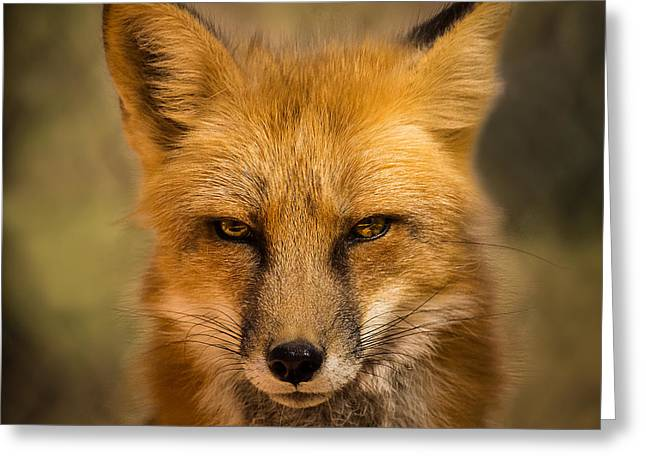 Eyes Of The Red Fox Greeting Card by A O Tucker