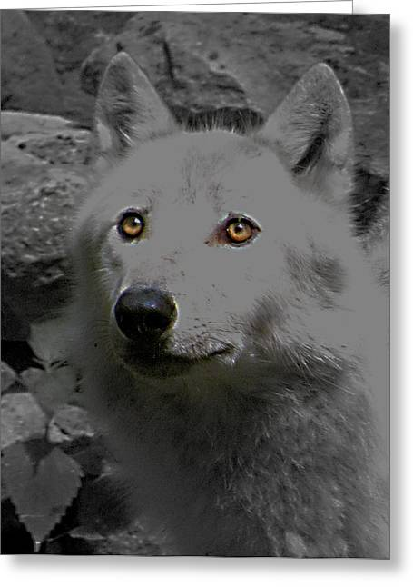 Greeting Card featuring the photograph Eyes Of The Wolf by Debra     Vatalaro
