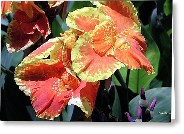 F24 Cannas Flower Greeting Card by Donald k Hall