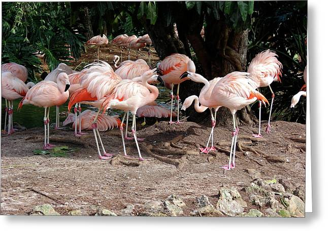 Fabulous Flamingos Greeting Card