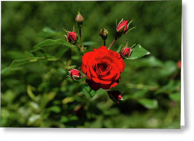 Fabulously Red Rose Burst Opening Just In Time For Valentines Greeting Card
