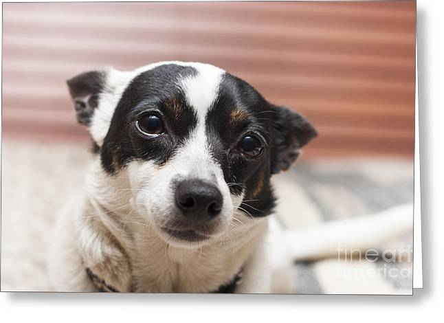 Face Of A Cute Terrier Puppy Dog Thinking Greeting Card by Jorgo Photography - Wall Art Gallery