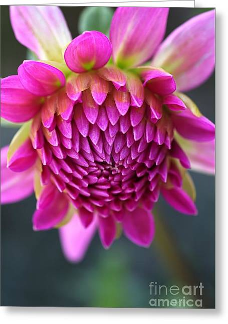 Face Of Dahlia Greeting Card