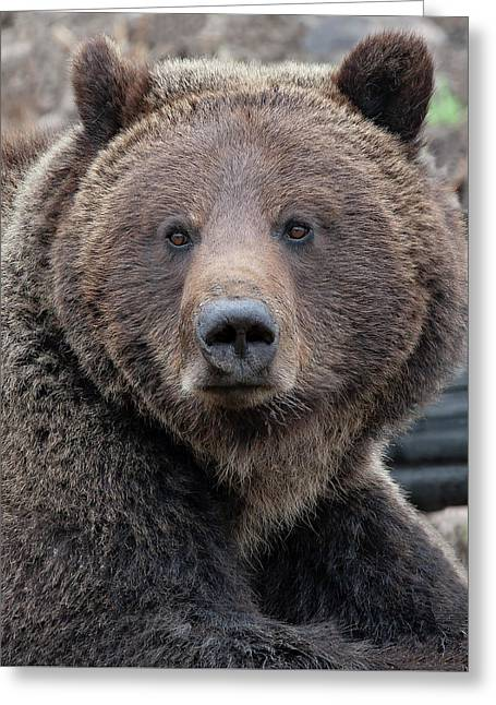 Face Of The Grizzly Greeting Card