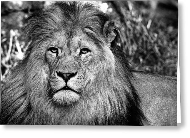 Face To Face With The King Of The Jungle Greeting Card by Sascha Richartz