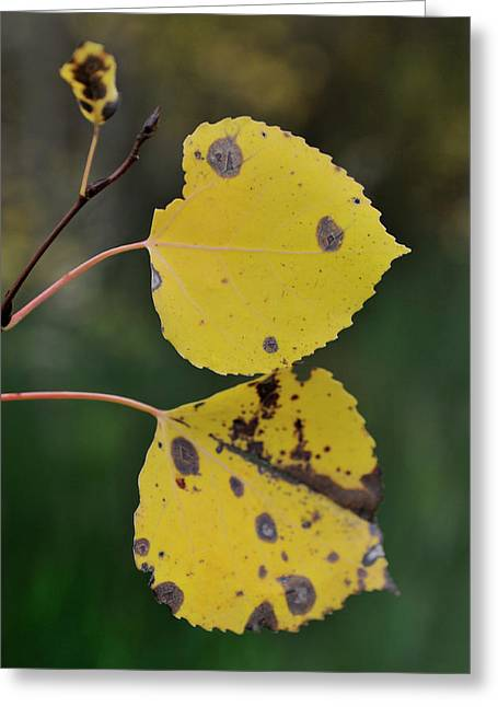 Greeting Card featuring the photograph Fading Aspen I by Ron Cline